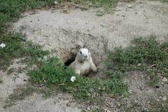 一只草原土拨鼠在南达科他 图库摄影