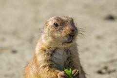 一只草原土拨鼠的画象与一片绿色叶子的在他的前面pa之间 库存照片