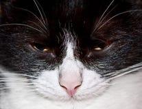 一只营养充足,困猫的画象 免版税库存照片