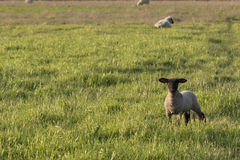 一只萨福克羊羔 库存照片