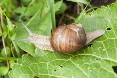 一只葡萄蜗牛 库存照片