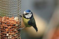 一只蓝冠山雀栖息哺养在从饲养者的花生 免版税库存图片