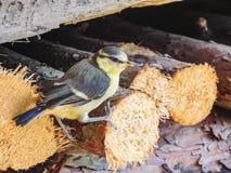 一只蓝冠山雀鸟的特写镜头坐木头 免版税库存图片