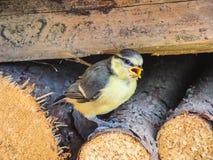 一只蓝冠山雀鸟的特写镜头坐木头 免版税库存照片
