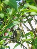 一只蓝冠山雀鸟的特写镜头坐树 免版税库存照片
