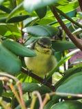 一只蓝冠山雀鸟的特写镜头坐树 免版税图库摄影