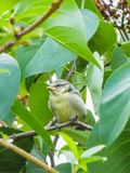 一只蓝冠山雀鸟的特写镜头坐树 免版税库存图片