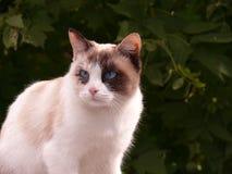 一只蓝眼睛的猫的画象 免版税库存照片