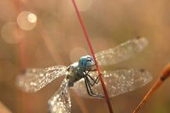 一只蓝眼睛的蜻蜓 免版税库存照片
