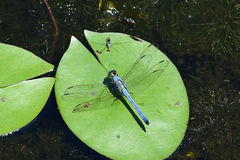 一只蓝色公东部Pondhawk蜻蜓 库存照片
