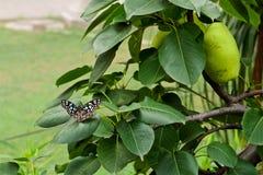 一只蓝色和白色小点蝴蝶坐叶子 库存图片