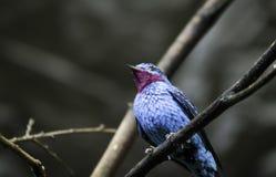一只蓝色和非常美丽的异乎寻常的鸟 免版税库存照片