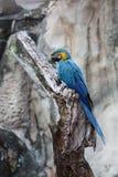 蓝色和黄色金刚鹦鹉 免版税库存照片