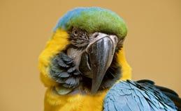 一只蓝色和黄色金刚鹦鹉的头 免版税库存图片