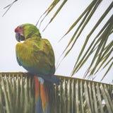 一只蓝色和黄色mackaw鹦鹉 库存图片