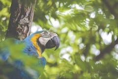一只蓝色和黄色mackaw鹦鹉 免版税库存图片