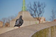 一只蓝色岩石鸽子在花岗岩栏杆附近坐onwlaks 库存图片