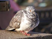 一只蓝色岩石鸽子坐花岗岩栏杆 免版税图库摄影