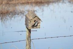 一只蓝色树燕子坐在入口到鸟房子 免版税库存照片