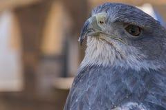一只蓝色老鹰的头的特写镜头视图用于猎鹰训练术的 免版税库存照片