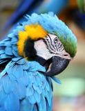一只蓝色金刚鹦鹉的画象 图库摄影