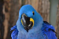 从一只蓝色风信花金刚鹦鹉的特写镜头面孔 图库摄影
