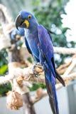 一只蓝色风信花金刚鹦鹉的画象 图库摄影