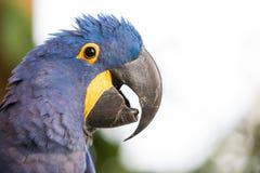 一只蓝色风信花金刚鹦鹉的画象 库存图片