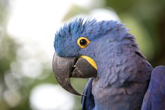 一只蓝色风信花金刚鹦鹉的画象 免版税图库摄影