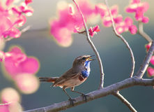 一只蓝色鸟在春天在树b的庭院开花的桃红色唱歌 免版税库存照片
