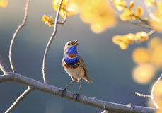 一只蓝色鸟在春天开花的树麸皮的庭院唱歌 库存照片