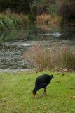 一只蓝色鸟在植物园里叫Pukeko在墨尔本 免版税图库摄影