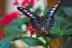 一只蓝色,黑白被察觉的蝴蝶的特写镜头 免版税库存照片
