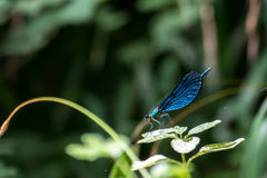 一只蓝色蜻蜓 免版税库存图片