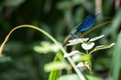 一只蓝色蜻蜓 库存照片