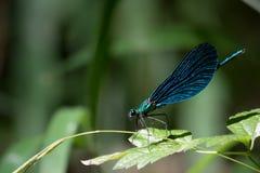 一只蓝色蜻蜓 免版税库存照片