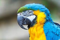 一只蓝色ara鹦鹉的画象 库存图片