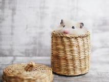 一只蓬松仓鼠 库存照片