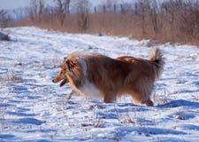 一只蓬松大牧羊犬在冬天 免版税库存图片