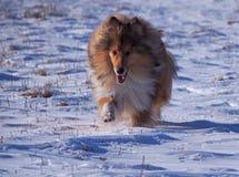 一只蓬松大牧羊犬 库存照片