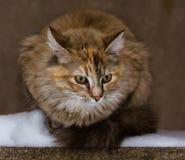 一只蓬松小猫在雪 免版税库存图片