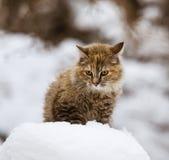 一只蓬松小猫在雪 图库摄影