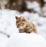 一只蓬松小猫在雪 免版税图库摄影