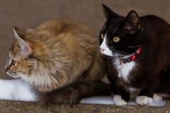 一只蓬松小猫在雪 免版税库存照片