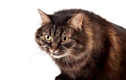 一只蓬松恼怒的猫的纵向 图库摄影
