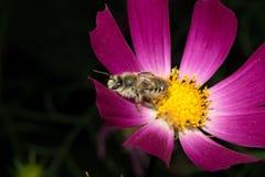 一只蓬松昆虫坐一朵花,与明亮地紫罗兰色瓣 在一个绿色背景 宏指令 库存图片