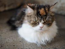 一只蓬松猫 图库摄影