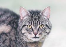 一只虎斑猫的画象在冬天 免版税图库摄影