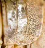 一只蚂蚱的壳作为背景 免版税库存图片