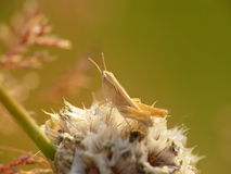 一只蚂蚱 库存照片